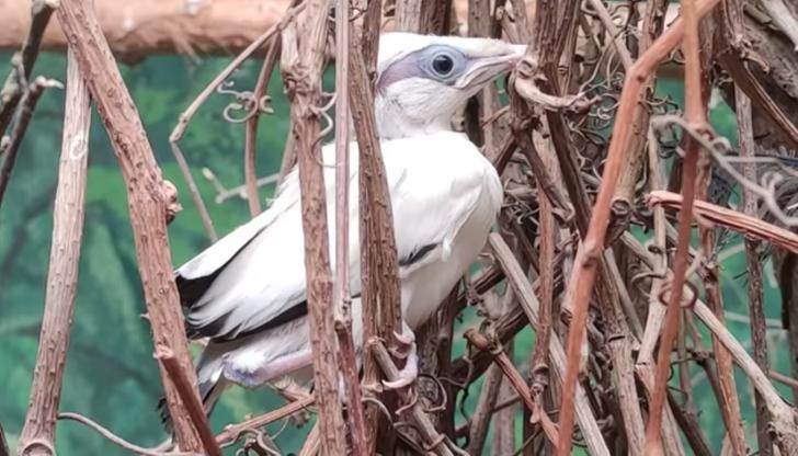 Płock. W zoo wykluł się szpak balijski, jeden z najrzadszych ptaków na Ziemi